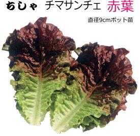 チマサンチュ 赤葉 9cmポット苗 【ラッキーシール対応】