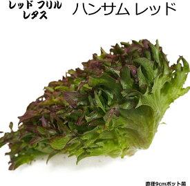レタス ハンサムレッド 9cmポット苗 リーフレタス 【ラッキーシール対応】