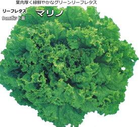レタス マリノ 9cmポット苗 グリーンリーフレタス 【ラッキーシール対応】