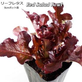 レタス Red Salad Bowl 9cmポット苗 【輸入種】 【ラッキーシール対応】
