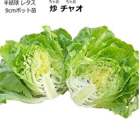 レタス 炒チャオ ちゃおちゃお 9cmポット苗 【ラッキーシール対応】