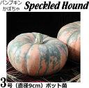 パンプキン苗・Speckled Hound