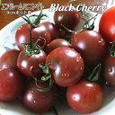 エアルームミニトマト苗・Black Cherry