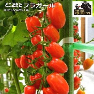 実生 ミニトマト 濃密トマト フラガール 10.5cmポット苗 【ラッキーシール対応】○