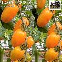 実生ミニトマト苗・濃密トマト オランジェ