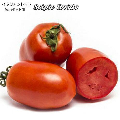 イタリアン トマト Scipio Ibrido 9cmポット苗 【輸入種】 【ラッキーシール対応】