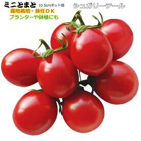 実生 ミニトマト シュガリーテール 10.5cmポット苗 【ラッキーシール対応】○