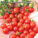 トマト苗 Sweet Pea Currant Organic