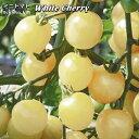 チェリートマト苗 White Cherry (オーガニック種子)
