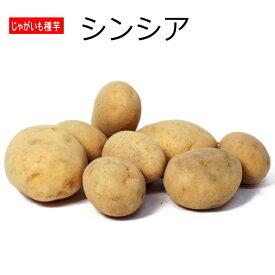 じゃがいも シンシア 種芋 1kg ジャガイモ 【ラッキーシール対応】