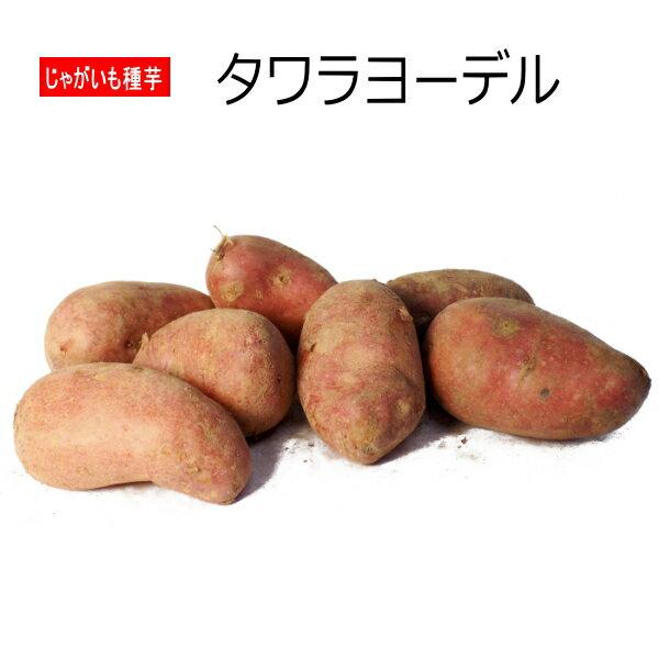 じゃがいも 種芋 タワラヨーデル 500g ジャガイモ 【ラッキーシール対応】
