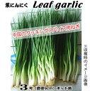 葉にんにく苗・Leafgarlic 中国野菜(9cmポット苗)