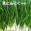 葉 にんにく(にんにくの葉) 種ニンニク 500g(7個前後) にんにく 【ラッキーシール対応】