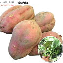 さつまいも苗(ウイルスフリー切り苗)・安納紅(紅安納芋)10本束サツマイモ