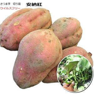 さつまいも 安納紅 紅安納芋 10本束 ウイルスフリー 切り苗 なえ屋産の丈夫なサツマイモ苗