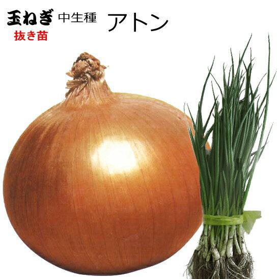 たまねぎ 苗 アトン 中生種 タマネギ 抜き苗 50本 【店頭受取対応商品】
