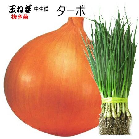 たまねぎ 苗 ターボ 中生種 タマネギ 抜き苗 50本 【店頭受取対応商品】