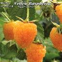 木いちご イエローラズベリー Yellow Raspberry 直径10.5cmポット苗 【ラッキーシール対応】
