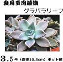 食用多肉植物 グラパラリーフ 3.5号(直径10.5cm)ポット苗