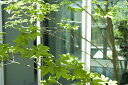 【送料無料】【現品発送】アオダモ株立 Sクラス  高さ2.0m〜2,2m   シンボルツリー沖縄、北海道、離島は別途送料が必要。