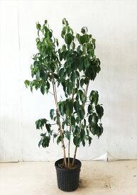 【送料無料】常緑ヤマボウシ月光 株立高さ1.2m〜1.4m シンボルツリー、常緑樹、花木