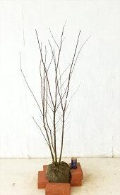 【送料無料】 イロハモミジ株立 高さ1.2m〜1.5m紅葉、若葉がきれい沖縄、北海道、離島は送料無料です。