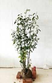 【送料無料】ジューンベリー株立高さ1.2m〜1.5mシンボルツリー,花,果樹,紅葉 サンプル画像です。同等品を発送します。北海道、沖縄、離島は配送料がかかります。