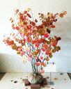 【送料無料】マルバノキ 露地もの   高さ1.2 m〜1.5m サンプル画像 同等品の発送 新緑・若葉と紅葉の美しい植木…