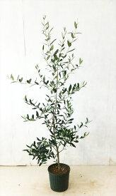 【お任せ品】【送料無料】オリーブ コレッジョラ  7号鉢高さ1.2m〜1.5mサンプル画像 同等品の発送屋内で鑑賞できます。常緑樹、実がなる沖縄、北海道、離島、は送料がかかります。