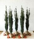 【まっすぐな樹形】スカイペンシル 5本セットサンプル画像  高さ1.2m〜1.4m=Bセット  垣根、列植に最適