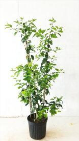 【送料無料】ソヨゴ株立(3本鉢植え) 高さ約0.8m実のなる木,常緑樹,シンボルツリー北海道、沖縄、離島は配送料がかかります。