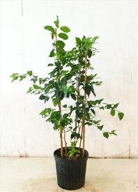 ソヨゴ株立 高さ約1.0m(鉢底から)サンプル画像(同等品の発送)実のなる木,常緑樹,シンボルツリー