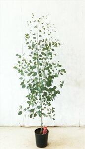 丸葉ユーカリ ポポラス  高さ約1.6m(鉢底から)7号鉢 サンプル画像 同等品の発送 常緑樹、シンボルツリー【送料無料】沖縄、離島は送料が必要
