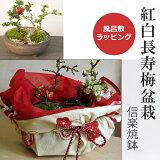 ご両親へ感謝を込めて贈る【紅白長寿梅の盆栽(信楽焼鉢)】小粋な風呂敷ラッピング