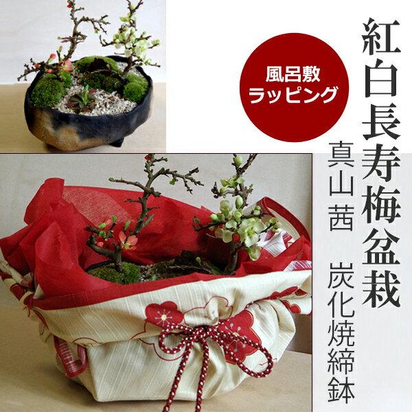 ご両親へ感謝を込めて贈る【紅白長寿梅の盆栽(炭化焼締鉢)】小粋な風呂敷ラッピング