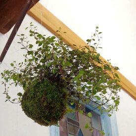 苔玉 吊って楽しむ、置いて楽しむ ワイアープランツ吊り苔玉