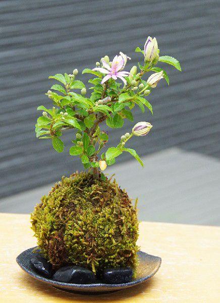 苔玉 毎年5月から夏ごろに美しい花が楽しめる 睡蓮木(スイレンボク)の苔玉 選べる器セット 敷石つき 黒備前 黒角器 手軽 初心者 入門