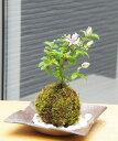 苔玉 毎年5月から夏ごろに美しい花が楽しめる 睡蓮木(スイレンボク)の苔玉焼締茶器セット 敷石つき 陶房・歩知歩智 …