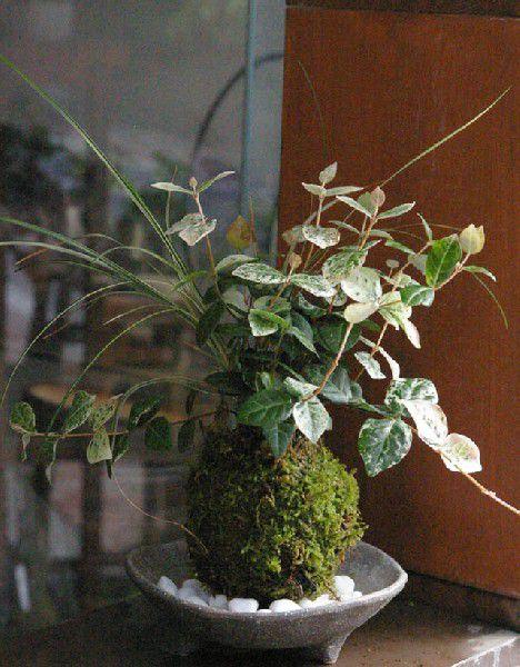 苔玉 色々な葉色を楽しめる苔玉 ハツユキ(初雪)カズラ・白竜の寄せ植え苔玉・三つ足灰器セット