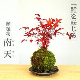 苔玉 南天の苔玉・選べる器・敷石セット
