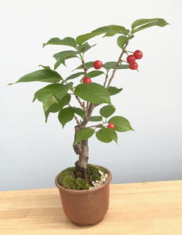 花を愛で実をたのしめるさくらんぼの盆栽【サクランボの盆栽(萬古焼・赤鉢)】