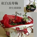 敬老の日盆栽 長寿梅 紅白 二本植え ご両親へ感謝を込めて贈る 紅白長寿梅の盆栽(炭化焼締鉢) 小粋な風呂敷ラッピン…