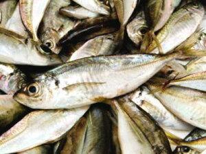 【鮮魚】天然鯵〈アジ〉【フライ・煮物用】1Kg前後、10匹前後