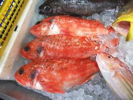 【鮮魚】あらかぶ〈アラカブ〉別称:カサゴ1尾、0.3Kg〜1Kg前後