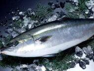 【鮮魚】養殖鰤〈ブリ〉1匹、6Kg前後