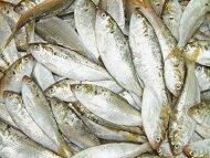 【鮮魚】小肌〈コハダ〉1Kg前後、16〜33匹前後