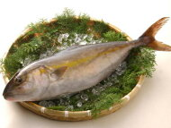 【鮮魚】勘八〈カンパチ〉1匹、3.5Kg前後