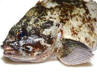 【鮮魚】黒ソイ〈クロソイ〉1匹、0.5Kg〜1Kg前後