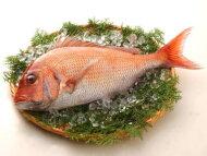 【鮮魚】真鯛〈マダイ〉1匹、2Kg前後
