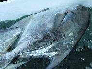 【鮮魚】真魚鰹〈マナカツオ〉1匹、1Kg〜2Kg前後
